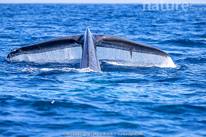 Tail of Blue whale diving (Balaenoptera musculus brevicauda) possibly the pygmy sub-species of blue whale, (Balaenoptera musculus). Mirissa, Sri Lanka, Indian Ocean. Photo taken under permit  ,  Animal,Animalia,Asia,Balaenoptera,Balaenoptera musculus,Balaenoptera sulfurous,Balaenopteridae,Baleen whale,Biodiversity hotspot,Blue Whale,Cetacea,cetacean,Endangered,Endangered species,Fluke,Indian Ocean,Indian Subcontinent,Mammal,Mammalia,Marine,Ocean,Saltwater,Sri Lanka,Surface,Tail,threatened,Vertebrate,Water,Wildlife  ,  Franco Banfi