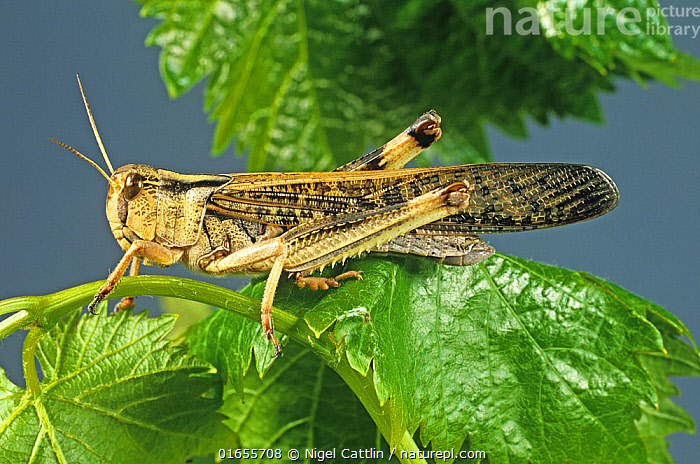 An adult winged migratory locust (Locusta migratoria) agricultural crop pest on a leaf  ,  close up,migratory,locust,Locusta migratoria,adult,arthropod,Arthropoda,insect,Insecta,Orthoptera,Acrididae,insect,arthropod,gregarious,polyphagous,pest,pests,plant,plant,crop,crops,devastation,devastate,destroy,eat,feeding,damage,damaging,,Animal,Wildlife,Arthropod,Insect,Orthopterida,Grasshopper,Locust,Migratory locust,Animalia,Animal,Wildlife,Hexapoda,Arthropod,Invertebrate,Hexapod,Arthropoda,Insecta,Insect,Orthoptera,Orthopterida,Acrididae,Grasshopper,Short horned grasshopper,Acrid,Acridoidea,Caelifera,Locusta,Locust,Bandwing,Bandwinged grasshopper,Oedipodidae,Oedipodinae,Locusta migratoria,Migratory locust,Ussure,African migratory locust,Gryllus migratoria,Acridium migratorium,Pachytylus migratorius,Pests,  ,  Nigel Cattlin
