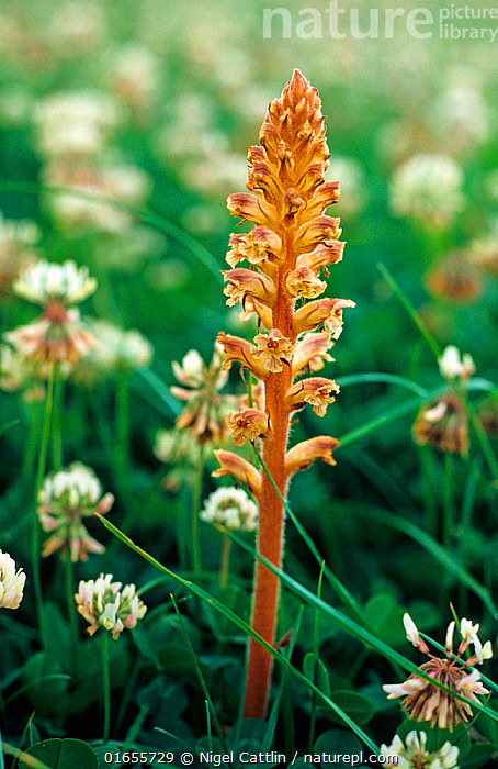 Common broomrape (Orobanche minor) flowering. A parasitic plant on clovers and also members of the daisy family.  ,  common,broomrape,hellroot,lesser,clover,small,Orobanche,minor,angiosperm,eudicot,Orobanchaceae,parasitic,plant,weed,agriculture,crop,grass,problem,mature,holoparasitic,flowering,plant,flower,spike,brown,flowers,stem,white,clover,Trifolium,repens,Fabaceae,pasture,grassland,,Plant,Vascular plant,Flowering plant,Asterid,Broomrape family,Broomrape,Common broomrape,Plantae,Plant,Tracheophyta,Vascular plant,Magnoliopsida,Flowering plant,Angiosperm,Spermatophyte,Spermatophytina,Angiospermae,Lamiales,Asterid,Dicot,Dicotyledon,Asteranae,Orobanchaceae,Broomrape family,Broomrape,Orobanche,Broom rape,Orobanche minor,Common broomrape,Small broomrape,Hellroot,Lesser broomrape,Orobanche crithmi,Orobanche crithmi maritimi,  ,  Nigel Cattlin
