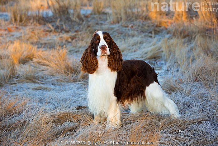 English Springer Spaniel standing in winter salt marsh, early morning, Connecticut, USA.  ,  Canis familiaris,Standing,Portrait,Animal,Outdoors,Wetland,Marsh,Marshland,Domestic animal,Pet,Domestic Dog,Gun dog,Medium dog,English Springer Spaniel,Domesticated,Canis familiaris,Saltmarsh,Dog,Spaniel,Mammal,  ,  Lynn M. Stone