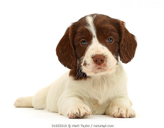 RF - English Springer Spaniel puppy, age 7 weeks.  (This image may be licensed either as rights managed or royalty free.)  ,  Canis familiaris,Cute,Adorable,Cutout,Plain Background,White Background,Portrait,Animal,Young Animal,Baby,Baby Mammal,Puppy,Pup,Pups,Domestic animal,Pet,Domestic Dog,Gun dog,Medium dog,English Springer Spaniel,Domesticated,Canis familiaris,Eye contact,Dog,Direct Gaze,Spaniel,Mammal,Looking,,RF,Royalty free, RF6,  ,  Mark Taylor