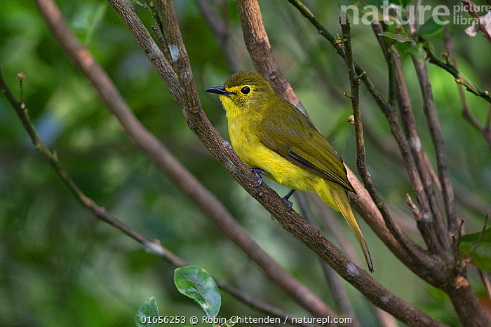 Yellow-browed bulbul (Acritillas indica) Sri Lanka.  ,  Animal,Wildlife,Vertebrate,Bird,Birds,Songbird,Bulbul,Yellow-browed bulbul,Animalia,Animal,Wildlife,Vertebrate,Aves,Bird,Birds,Passeriformes,Songbird,Passerine,Pycnonotidae,Bulbul,Colour,Yellow,Asia,Indian Subcontinent,Sri Lanka,Biodiversity hotspot,Acritillas,Acritillas indica,Yellow-browed bulbul,  ,  Robin Chittenden