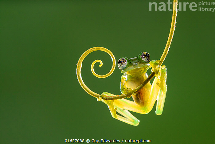 Emerald glass frog (Espadarana prosoblepon). Arenal, Costa Rica.  ,  Animal,Wildlife,Vertebrate,Frog,Glass frog,Nicaragua Giant Glass Frog,Animalia,Animal,Wildlife,Vertebrate,Amphibia,Anura,Frog,Centrolenidae,Glass frog,Curly,Shape,Spiral,Spirals,Latin America,Central America,Costa Rica,Coloured Background,Green Background,Copy Space,Cutout,Low Angle View,Biodiversity hotspot,Ventral view,Underside,Negative space,Amphibian,Espadarana,Espadarana prosoblepon,Centrolene prosoblepon,Hyla parabambae,Hyla prosoblepon,Hyla ocellifera,Hylella puncticrus,Nicaragua Giant Glass Frog,Emerald Glass Frog,  ,  Guy Edwardes