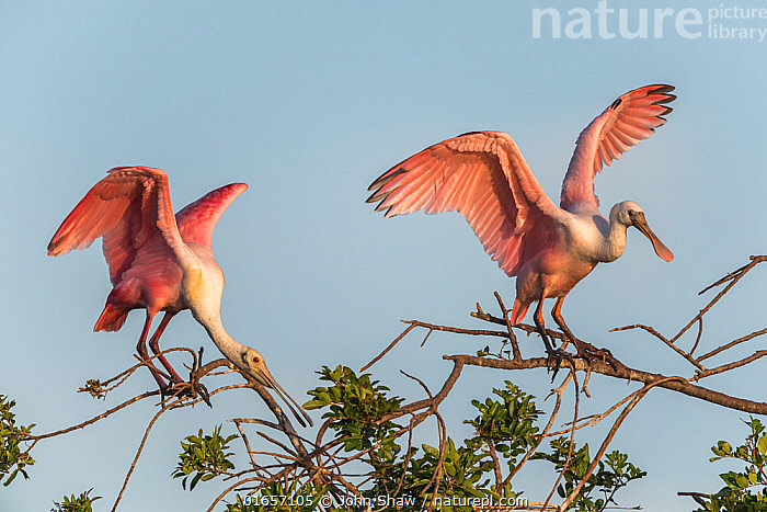 Two roseate spoonbills (Platalea ajaja) nesting colony site, in early morning light. Adult left, immature right. St. Johns Management Area, Florida, USA. March.  ,  Animal,Wildlife,Vertebrate,Bird,Birds,Spoonbill,Roseate spoonbill,American,Animalia,Animal,Wildlife,Vertebrate,Aves,Bird,Birds,Pelecaniformes,Threskiornithidae,Platalea,Spoonbill,Plataleinae,Platalea ajaja,Roseate spoonbill,Ajaia ajaja,North America,USA,Southern USA,Southeast USA,Florida,Animal Behaviour,Nesting behaviour,Nest building,Protected area,American,United States of America,  ,  John Shaw