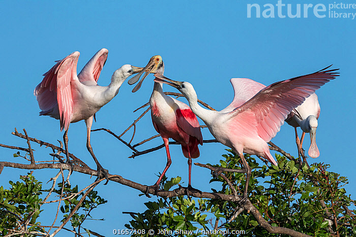Roseate spoonbill adult (Platalea ajaja) feeding large young on either side. St. Johns Management Area, Florida, USA. March.  ,  Animal,Wildlife,Vertebrate,Bird,Birds,Spoonbill,Roseate spoonbill,American,Animalia,Animal,Wildlife,Vertebrate,Aves,Bird,Birds,Pelecaniformes,Threskiornithidae,Platalea,Spoonbill,Plataleinae,Platalea ajaja,Roseate spoonbill,Ajaia ajaja,North America,USA,Southern USA,Southeast USA,Florida,Young Animal,Baby,Chick,Animal Behaviour,Nesting behaviour,Nest building,Feeding,Parental behaviour,Feeding young,Parental,Protected area,American,United States of America,Parenting,  ,  John Shaw