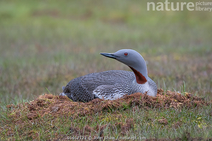 Red-throated loon (Gavia stellata) on nest, Spitsbergen, Norway, July.  ,  Animal,Wildlife,Vertebrate,Bird,Birds,Diver,Red throated diver,Arctic,Animalia,Animal,Wildlife,Vertebrate,Aves,Bird,Birds,Gaviiformes,Gaviidae,Diver,Loon,Gavia,Gavia stellata,Red throated diver,Red throated loon,Europe,Northern Europe,North Europe,Nordic Countries,Scandinavia,Norway,Svalbard,Animal Home,Nest,Animal Behaviour,Brooding,Parental behaviour,Incubating,Parental,Spitsbergen,Arctic,Parenting,  ,  John Shaw