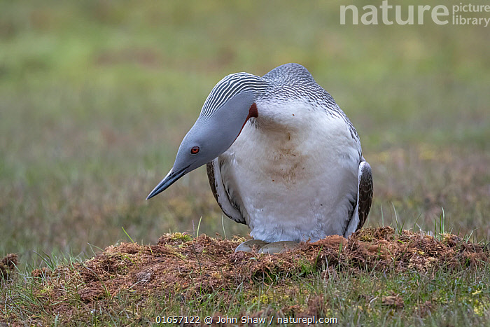 Red-throated loon (Gavia stellata) on nest with eggs showing, Spitsbergen, Norway, July.  ,  Animal,Wildlife,Vertebrate,Bird,Birds,Diver,Red throated diver,Arctic,Animalia,Animal,Wildlife,Vertebrate,Aves,Bird,Birds,Gaviiformes,Gaviidae,Diver,Loon,Gavia,Gavia stellata,Red throated diver,Red throated loon,Europe,Northern Europe,North Europe,Nordic Countries,Scandinavia,Norway,Svalbard,Animal Home,Nest,Animal Behaviour,Brooding,Parental behaviour,Incubating,Parental,Spitsbergen,Arctic,Parenting,  ,  John Shaw