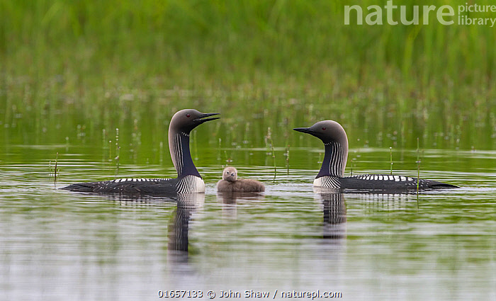 Pacific loons (Gavia pacifica) on tundra pond with chick, Nome, Alaska, USA, July.  ,  Animal,Wildlife,Vertebrate,Bird,Birds,Diver,Pacific loon,American,Animalia,Animal,Wildlife,Vertebrate,Aves,Bird,Birds,Gaviiformes,Gaviidae,Diver,Loon,Gavia,Gavia pacifica,Pacific loon,Pacific diver,North America,USA,Western USA,Alaska,Young Animal,Baby,Chick,Animal Behaviour,Parental behaviour,Male female pair,Parental,American,United States of America,Parenting,  ,  John Shaw