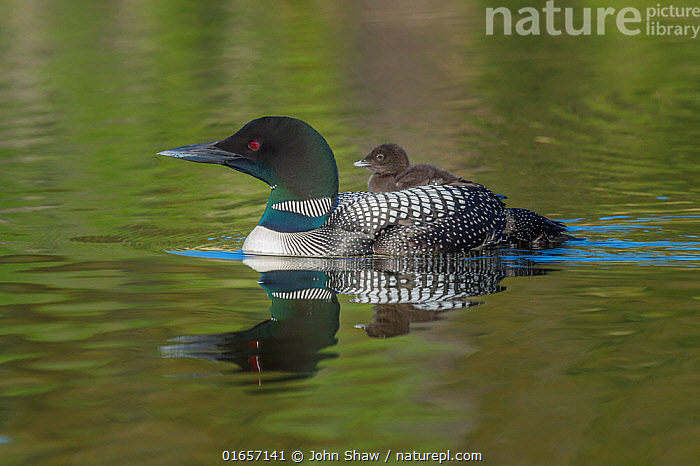 Common loon (Gavia immer) carrying chick on its back. British Columbia, Canada. June.  ,  Animal,Wildlife,Vertebrate,Bird,Birds,Diver,Great northern diver,Animalia,Animal,Wildlife,Vertebrate,Aves,Bird,Birds,Gaviiformes,Gaviidae,Diver,Loon,Gavia,Gavia immer,Great northern diver,Common loon,Black billed loon,North America,Canada,British Columbia,Young Animal,Baby,Chick,Reflection,Freshwater,Lake,Water,Family,Parent baby,  ,  John Shaw