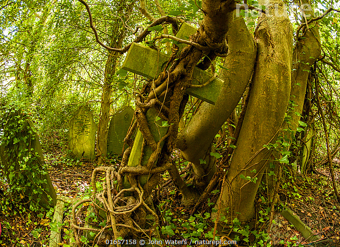 Tombstone being strangled by ivy in Arnos Vale Cemetery, now disused, overgrown and a refuge for nature. Bristol, England, UK, June 2019,  ,  Overgrown,Europe,Western Europe,UK,Great Britain,England,Bristol,Cemetery,Nature Reclamation,Nature taking over,  ,  John Waters
