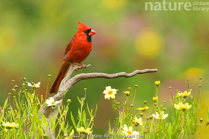 Northern cardinal (Cardinalis cardinalis) male in a late summer garden setting, Coreopsis sp. flowers around the perch, New York, USA, August.  ,  Animal,Wildlife,Vertebrate,Bird,Birds,Songbird,Cardinal,Northern cardinal,American,Animalia,Animal,Wildlife,Vertebrate,Aves,Bird,Birds,Passeriformes,Songbird,Passerine,Cardinalidae,Cardinal,Cardinal grosbeak,Cardinal bunting,Cardinalis,Cardinalis cardinalis,Northern cardinal,Common cardinal,Redbird,Loxia cardinalis,Colour,Red,North America,USA,Eastern USA,Mid-Atlantic US,New York,Plant,Flower,American,United States of America,  ,  Marie Read