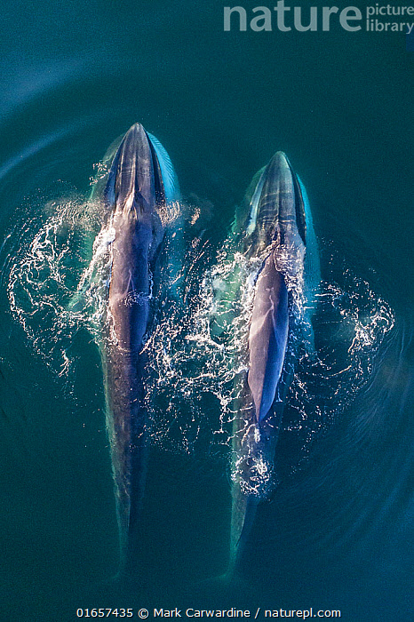 Fin whale (Balaenoptera physalus), two feeding, aerial view. Baja California, Mexico. March.  ,  Animal,Wildlife,Vertebrate,Mammal,Ceteacean,Fin Whale,Baleen whale,Animalia,Animal,Wildlife,Vertebrate,Mammalia,Mammal,Cetacea,Ceteacean,Balaenopteridae,Balaenoptera,Balaenoptera physalus,Fin Whale,Common Rorqual,Finback,Fin-backed Whale,Finner,Herring Whale,Razorback,Side By Side,Two,Latin America,Central America,Mexico,Aerial View,High Angle View,Tropical,Ocean,Pacific Ocean,Marine,Water,Feeding,Saltwater,Elevated view,Two animals,Baja California Peninsula,Drone,Drone shot,Baleen whale,Endangered species,threatened,Endangered  ,  Mark Carwardine