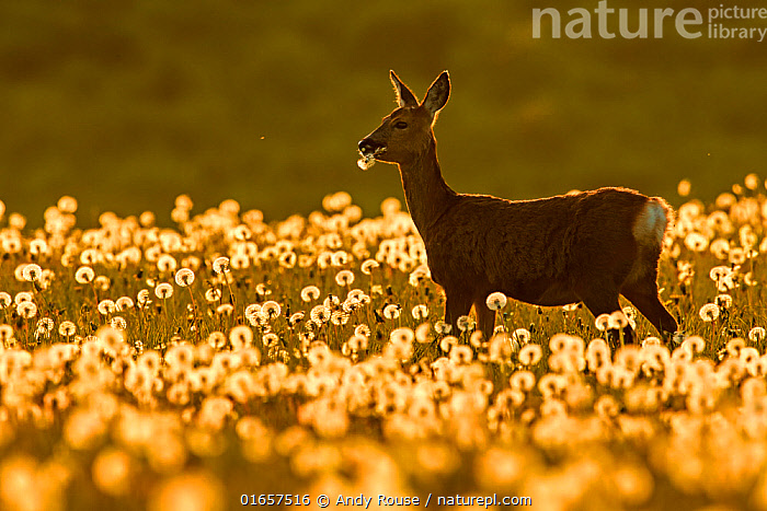 RF - Roe deer (Capreolus capreolus) feeding on dandelion seed heads at sunset, UK. May. UK. (This image may be licensed either as rights managed or royalty free.)  ,  Animal,Wildlife,Vertebrate,Mammal,Deer,Roe deer,Animalia,Animal,Wildlife,Vertebrate,Mammalia,Mammal,Artiodactyla,Even-toed ungulates,Cervidae,Deer,True deer,ruminantia,Ruminant,Capreolus,Roe deer,Capreolus capreolus,Europe,Western Europe,UK,Plant,Seed Head,Seed Heads,Sunflower Family,Dandelion,Dandelions,Dandilion,Dandilions,Sunset,Setting Sun,Sunsets,Dusk,RF,Royalty free,RF6,  ,  Andy Rouse