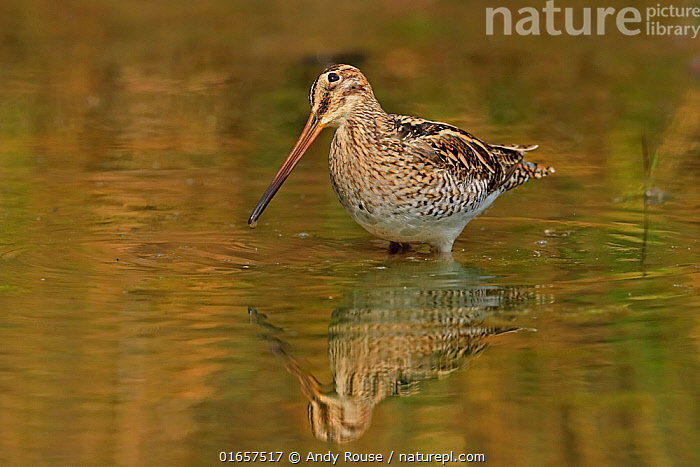 RF - Common Snipe (Gallinago gallinago) feeding Ranthambhore, India (This image may be licensed either as rights managed or royalty free.)  ,  Animal,Wildlife,Vertebrate,Bird,Birds,Sandpiper,Snipe,Animalia,Animal,Wildlife,Vertebrate,Aves,Bird,Birds,Charadriiformes,Scolopacidae,Sandpiper,Wader,Shorebird,Gallinago,Snipe,Gallinago gallinago,Common snipe,Fantail snipe,Wilson snipe,Capella gallinago,Asia,Indian Subcontinent,India,Europe,Western Europe,UK,Portrait,Reflection,Water,Rajasthan,Ranthambore National Park,,RF,Royalty free, RF6,  ,  Andy Rouse