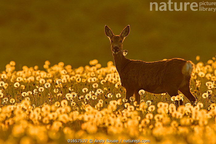 Roe deer (Capreolus capreolus) amongst dandelion seed heads at sunset, UK. May.  ,  Animal,Wildlife,Vertebrate,Mammal,Deer,Roe deer,Animalia,Animal,Wildlife,Vertebrate,Mammalia,Mammal,Artiodactyla,Even-toed ungulates,Cervidae,Deer,True deer,ruminantia,Ruminant,Capreolus,Roe deer,Capreolus capreolus,Atmospheric Mood,Europe,Western Europe,UK,Plant,Seed Head,Seed Heads,Sunflower Family,Dandelion,Dandelions,Dandilion,Dandilions,  ,  Andy Rouse