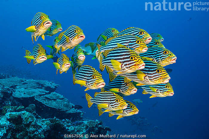 RF - A school of oriental sweetlips (Plectorhinchus vittatus) gather tightly together as they rest during the day on a coral reef. Laamu Atoll, Maldives. Indian Ocean (This image may be licensed either as rights managed or royalty free.)  ,  Animal,Wildlife,Vertebrate,Ray-finned fish,Percomorphi,Grunt,Sweetlip,Oriental thicklip,Animalia,Animal,Wildlife,Vertebrate,Actinopterygii,Ray-finned fish,Osteichthyes,Bony fish,Fish,Perciformes,Percomorphi,Acanthopteri,Haemulidae,Grunt,Plectorhinchus,Sweetlip,Rubberlip,Plectorhinchus vittatus,Oriental thicklip,Oriental blubber-lips,Indian ocean oriental sweetlips,Oriental sweetlips,Perca vittata,Plectorhinchus orientalis,Anthias orientalis,Maldives,Maldive Islands,Republic of Maldives,Tropical,Reef,Reefs,Coral Reef,Coral Reefs,Ocean,Indian Ocean,Marine,Underwater,Water,Saltwater,Indian Ocean Islands,Marine,RF,Royalty free, RF6,  ,  Alex Mustard