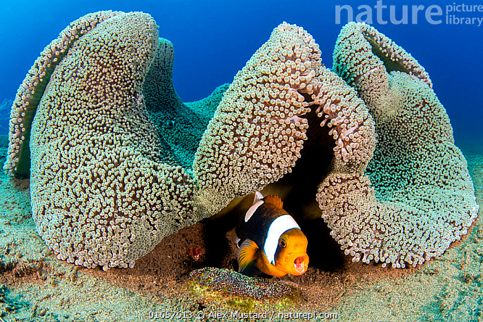 Saddleback anemonefish (Amphiprion polymnus) barks a warning as it guards a clutch of developing eggs (beneath it) laid on a small stone, below a fold in its home, a Haddon's sea anemone (Stichodactyla haddonis). Dauin, Dauin Marine Protected Area, Dumaguete, Negros, Philippines. Bohol Sea, tropical west Pacific Ocean.  ,  Animal,Wildlife,Vertebrate,Ray-finned fish,Percomorphi,Damselfish,Clownfish,Saddleback anemonefish,Homes,Animalia,Animal,Wildlife,Vertebrate,Actinopterygii,Ray-finned fish,Osteichthyes,Bony fish,Fish,Perciformes,Percomorphi,Acanthopteri,Pomacentridae,Damselfish,Dameselfishes,Amphiprion,Clownfish,Anemonefish,Clown fish,Anenome fish,Amphiprion polymnus,Saddleback anemonefish,Saddle back clown,Saddleback clownfish,White-tipped anemonefish,Yellow-finned anemone-fish,Brownsaddle clownfish,Panda clownfish,Anthias bifasciatus,Perca polymna,Amphiprion bifasciatus,Vocalisation,Calling,Symbiotic Relationship,Hiding,Asia,South East Asia,Republic of the Philippines,Animal Eggs,Egg,Eggs,Tropical,Ocean,Pacific Ocean,Marine,Underwater,Water,Animal Behaviour,Defensive,Parental behaviour,Indo Pacific,Saltwater,Biodiversity hotspots,Biodiversity hotspot,Parental,Homes,Philippines,Dumaguete,Amblypomacentrus,Parenting,Marine  ,  Alex Mustard