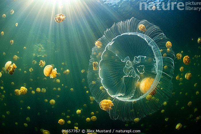 Moon jelly (Aurelia aurita) swimming in front of an aggregation of stingless Golden jellyfish (Mastigias sp.) in a landlocked marine lake in the middle of an island. Their golden colour comes from endosymbiotic algae, which provide nutrition for the medusae, as long as the jellies stay in the sun. Farondi Islands, Misool, Raja Ampat, West Papua, Indonesia. Tropical West Pacific Ocean.  ,  Animal,Wildlife,Cnidarian,True jellyfish,Flagmouth jellyfish,Common jellyfish,Animalia,Animal,Wildlife,Cnidaria,Cnidarian,Coelentrerata,Scyphozoa,True jellyfish,Semaeostomeae,Flagmouth jellyfish,Ulmaridae,Aurelia,Aurelia aurita,Common jellyfish,Moon jellyfish,Moon jelly,Oceania,Melanesia,New Guinea,Tropical,Ocean,Pacific Ocean,Marine,Underwater,Water,Saltwater,West Irian Jaya,Irian Jaya,Indonesia,Misool,Invertebrate,Invertebrates,Marine  ,  Alex Mustard