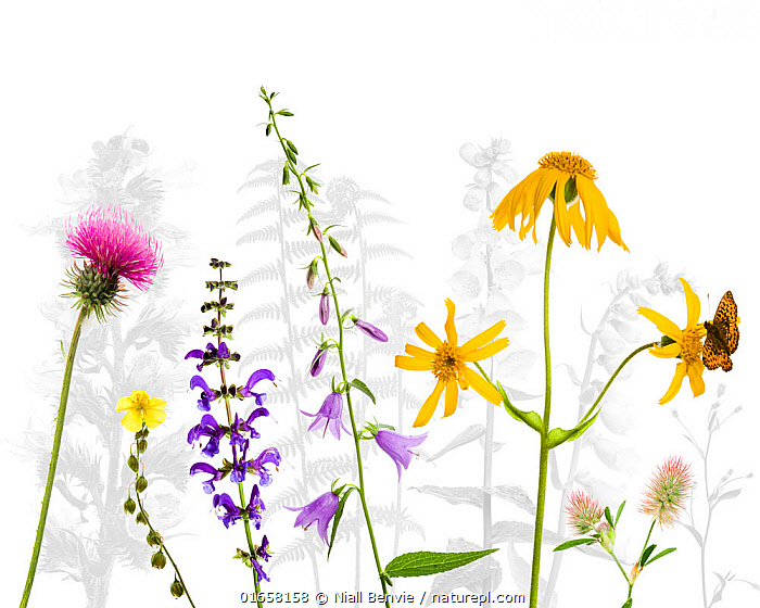 Selection of wildflowers against white background, including Thistle (Cirsium), Common rockrose (Helianthemum chamaecistus), Meadow clary (Salvia pratensis) Creeping hairbell (Campanula rapunculoides), Mountain arinca (Arnica montana) with Fritillary butterfly and Harefoot trefoil (Trifolium arvense) Tirol, Austria.  ,  Plant,Vascular plant,Flowering plant,Rosid,Rock rose,Frostweed,Legume,Clover,Asterid,Sage,Meadow clary,Bellflower,Thistle,Plantae,Plant,Tracheophyta,Vascular plant,Magnoliopsida,Flowering plant,Angiosperm,Spermatophyte,Spermatophytina,Angiospermae,Malvales,Rosid,Dicot,Dicotyledon,Rosanae,Cistaceae,Rock rose,Helianthemum,Frostweed,Frostweeds},Fabales,Fabaceae,Legume,Pea,Bean,Leguminosae,Trifolium,Clover,Lamiales,Asterid,Asteranae,Lamiaceae,Labiatae,Salvia,Sage,Salvia pratensis,Meadow clary,Meadow sage,Introduced sage,Sclarea pratensis,Plethiosphace pratensis,Gallitrichum pratense,Asterales,Campanulaceae,Campanule,Campanula,Bellflower,Asteraceae,Compositae,Cirsium,Thistle,Arnica,Colour,Colourful,Europe,Southern Europe,Italy,Trentino-Alto Adige,Tirol,Cutout,Plain Background,White Background,Flower,Arty shots,Mixed species,Arnica montana,  ,  Niall Benvie