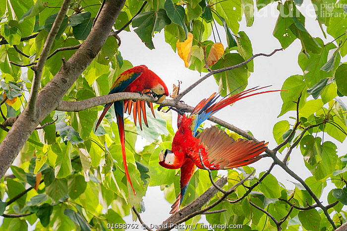 Scarlet macaw (Ara macao) pair fighting in a tree, Corcovado National Park, Osa Peninsula, Costa Rica.  ,  Animal,Wildlife,Vertebrate,Bird,Birds,Parrot,True parrot,Macaw,Scarlet macaw,Animalia,Animal,Wildlife,Vertebrate,Aves,Bird,Birds,Psittaciformes,Parrot,Psittacines,Psittacidae,True parrot,Psittacoidea,Ara,Macaw,Neotropical parrots,Arini,Arinae,Ara macao,Scarlet macaw,Latin America,Central America,Costa Rica,Plant,Tree,Animal Behaviour,Aggression,Fighting,Reserve,Male female pair,Biodiversity hotspot,Protected area,National Park,  ,  David Pattyn