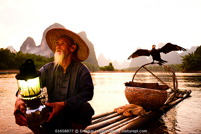 Traditional Chinese fisherman on raft with domesticated Cormorant (Phalacrocorax carbo sinensis) drying wings, birds used to catch fish, Karst peaks in background. Li River, Yangshuo, Guanxi, China. 2016.  ,  Animal,Wildlife,Vertebrate,Bird,Birds,Phalacrocoraciformes,Cormorant,Great cormorant,Animalia,Animal,Wildlife,Vertebrate,Aves,Bird,Birds,Suliformes,Phalacrocoraciformes,Phalacrocoracidae,Cormorant,Phalacrocorax,Phalacrocorax carbo,Great cormorant,Common cormorant,Common black cormorant,Large cormorant,Large back cormorant,People,Adult,Adults,Senior Adult,Man,Fisherman,Traditional,Asia,East Asia,China,Guangxi,Yangshuo,Yangshuo City,Boat,Raft,Floating Platform,Floating Platforms,Rafts,Flowing Water,River,Freshwater,Water,Cooperation,Open boat,Fishing,Lijiang River Scenic Zone,  ,  Enrique Lopez-Tapia
