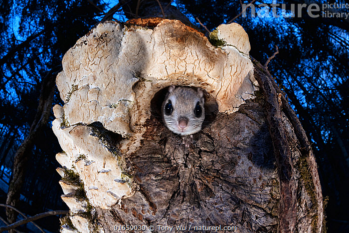 Japanese dwarf flying squirrel (Pteromys volans orii) peering out of nest hole in tree trunk. Hokkaido, Japan. March.  ,  Animal,Wildlife,Vertebrate,Mammal,Rodent,Old World flying squirrel,Russian Flying Squirrel,Animalia,Animal,Wildlife,Vertebrate,Mammalia,Mammal,Rodentia,Rodent,Sciuridae,Pteromys,Old World flying squirrel,Pteromys volans,Russian Flying Squirrel,Siberian Flying Squirrel,Emergence,Asia,East Asia,Japan,Hokkaido,Low Angle View,Plant,Tree Trunk,Tree,Animal Home,Hide And Seek,Hide And Seek Game,Hide And Seek Games,Hide-And-Seek,Hide-And-Seek Game,Hide-And-Seek Games,Nest,Hole,Spring,Night,Woodland,Forest,Biodiversity hotspot,Fungus,Fungi,Eye contact,Dusk,Direct Gaze,Nest hole,Looking,Trunk,Pteromys volans orii,Ezo momonga,  ,  Tony Wu