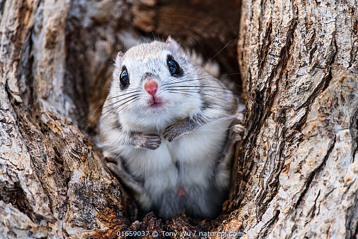 Japanese dwarf flying squirrel (Pteromys volans orii) male sitting in tree, portrait. Hokkaido, Japan. March  ,  .,,Animal,Wildlife,Vertebrate,Mammal,Rodent,Old World flying squirrel,Russian Flying Squirrel,Animalia,Animal,Wildlife,Vertebrate,Mammalia,Mammal,Rodentia,Rodent,Sciuridae,Pteromys,Old World flying squirrel,Pteromys volans,Russian Flying Squirrel,Siberian Flying Squirrel,Sitting,Curiosity,Cute,Adorable,Asia,East Asia,Japan,Hokkaido,Male Animal,Plant,Tree,Spring,Biodiversity hotspot,Eye contact,Ventral view,Underside,Direct Gaze,Questioning,Looking,Pteromys volans orii,Ezo momonga,  ,  Tony Wu