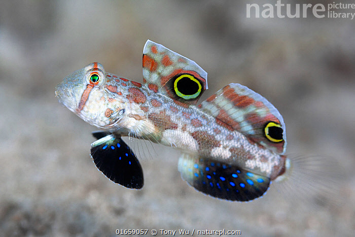 Crab-eye goby (Signigobius biocellatus), mimics crab with eye-spot markings on dorsal fins and back and forth movement. Loloata Island, Papua New Guinea.  ,  Animal,Wildlife,Vertebrate,Ray-finned fish,Percomorphi,Goby,Crab eyed goby,Animalia,Animal,Wildlife,Vertebrate,Actinopterygii,Ray-finned fish,Osteichthyes,Bony fish,Fish,Perciformes,Percomorphi,Acanthopteri,Gobiidae,Goby,Signigobius,Crab eyed goby,Signigobius biocellatus,Signal goby,Twinspot goby,Disguise,Pattern,Spotted,Oceania,Melanesia,New Guinea,Papua New Guinea,Animal Eye,Eyes,Tropical,Ocean,Pacific Ocean,Marine,Underwater,Water,Animal markings,Saltwater,Mimicking,Marine  ,  Tony Wu