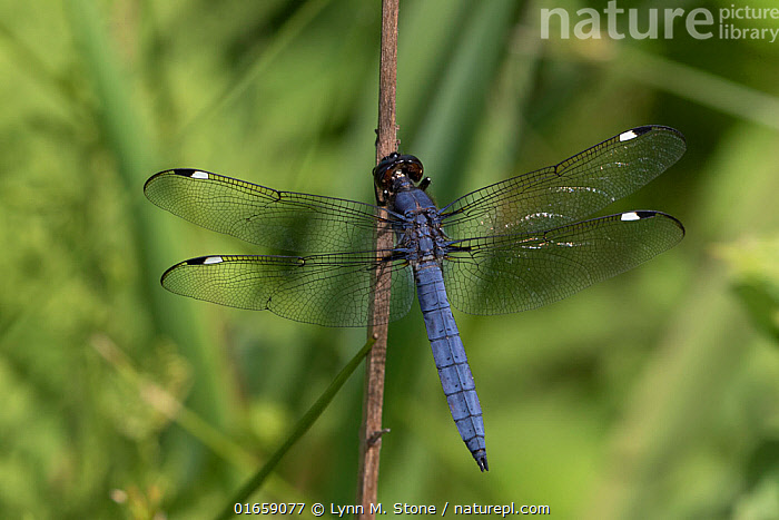 Spangled skimmer dragonfly (Libellula cyanea) male resting on stem. Connecticut, USA. June.  ,  Animal,Wildlife,Arthropod,Insect,Pterygota,Hawker dragonfly,Southern hawker,Skimmer,Spangled skimmer,American,Animalia,Animal,Wildlife,Hexapoda,Arthropod,Invertebrate,Hexapod,Arthropoda,Insecta,Insect,Odonata,Pterygota,Aeshnidae,Hawker dragonfly,Hawker,Darner dragonfly,Darner,Dragonfly,Anisoptera,Epiprocta,Aeshna,Mosaic darner,Aeshna cyanea,Southern hawker,Blue hawker,Blue darner,Libellula cyanea,Aeschna atshischgho,Libellula varia,Libellulidae,Skimmer,Skimmer dragonfly,Libellula,Spangled skimmer,Libellula bistigma,Libellula quadrupla,North America,USA,Eastern USA,New England,Connecticut,High Angle View,Male Animal,Elevated view,Dorsal view,American,United States of America,Endangered species  ,  Lynn M. Stone