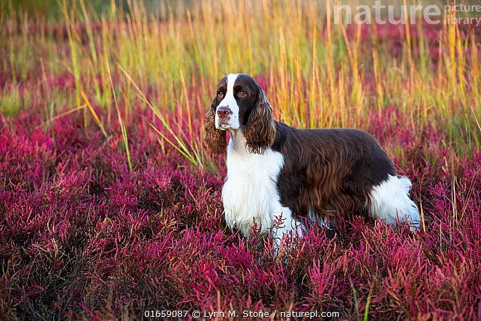 English Springer Spaniel standing in saltmarsh in autumn. Connecticut, USA. October.  ,  Canis familiaris,Standing,Colour,Pink,Side View,Animal,Outdoors,Autumn,Domestic animal,Pet,Domestic Dog,Gun dog,Medium dog,English Springer Spaniel,Domesticated,Canis familiaris,Dog,Spaniel,Mammal,  ,  Lynn M. Stone