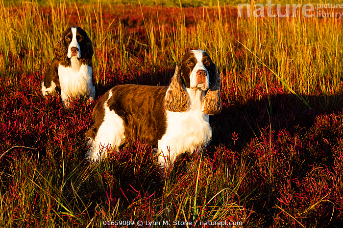 English Springer Spaniel, two standing in saltmarsh in autumn, in evening light. Connecticut, USA. October.  ,  Canis familiaris,Standing,Two,Animal,Outdoors,Autumn,Domestic animal,Pet,Domestic Dog,Gun dog,Medium dog,English Springer Spaniel,Domesticated,Canis familiaris,Eye contact,Dog,Two animals,Direct Gaze,Spaniel,Mammal,Looking,  ,  Lynn M. Stone