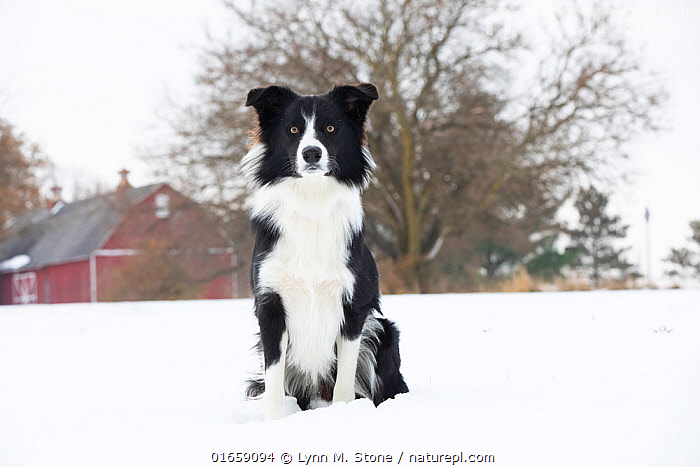 Border Collie sitting in snow. Illinois, USA. November.  ,  Canis familiaris,Sitting,Animal,Snow,Outdoors,Winter,Domestic animal,Pet,Domestic Dog,Pastoral Dog,Medium dog,Border Collie,Collie,Domesticated,Canis familiaris,Eye contact,Dog,Direct Gaze,Mammal,Looking,  ,  Lynn M. Stone