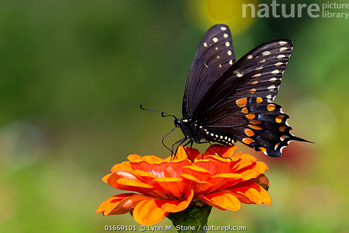 Spicebush swallowtail butterfly (Papilio troilus) nectaring on Zinnia. Connecticut, USA. August.  ,  Animal,Wildlife,Arthropod,Insect,Swallowtail butterfly,Spicebush swallowtail,American,Animalia,Animal,Wildlife,Hexapoda,Arthropod,Invertebrate,Hexapod,Arthropoda,Insecta,Insect,Lepidoptera,Lepidopterans,Papilionidae,Swallowtail butterfly,Papilionid,Butterfly,Papilio,Papilio troilus,Spicebush swallowtail,Coastal spicebush swallowtail,Colour,Orange,North America,USA,Eastern USA,New England,Connecticut,Southern USA,Maryland,Plant,Flower,Feeding,Nectaring,American,United States of America,  ,  Lynn M. Stone
