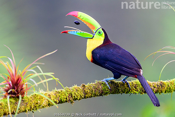 Keel-billed toucan (Ramphastos sulfuratus) feeding, tossing fruit seed in beak, perched on branch. Boca Tapada, Costa Rica. Sequence 2/2.  ,  Animal,Wildlife,Vertebrate,Bird,Birds,Toucan,Keel billed toucan,Animalia,Animal,Wildlife,Vertebrate,Aves,Bird,Birds,Piciformes,Ramphastidae,Toucan,Ramphastos,Ramphastos sulfuratus,Keel billed toucan,Rainbow billed toucan,Sulphur breasted toucan,Throwing,Humorous,Latin America,Central America,Costa Rica,Mouth,Feeding,Biodiversity hotspot,Open Mouth,  ,  Nick Garbutt
