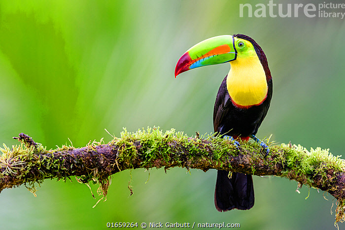 RF - Keel-billed toucan (Ramphastos sulfuratus) perched on mossy branch. Boca Tapada, Costa Rica. (This image may be licensed either as rights managed or royalty free.)  ,  Animal,Wildlife,Vertebrate,Bird,Birds,Toucan,Keel billed toucan,Animalia,Animal,Wildlife,Vertebrate,Aves,Bird,Birds,Piciformes,Ramphastidae,Toucan,Ramphastos,Ramphastos sulfuratus,Keel billed toucan,Rainbow billed toucan,Sulphur breasted toucan,Colour,Colourful,Latin America,Central America,Costa Rica,Side View,Beak,Nature,Biodiversity hotspot,RF,Royalty free,RF6,,RF,Royalty free, RF6,RF,Royalty free, RF6,  ,  Nick Garbutt