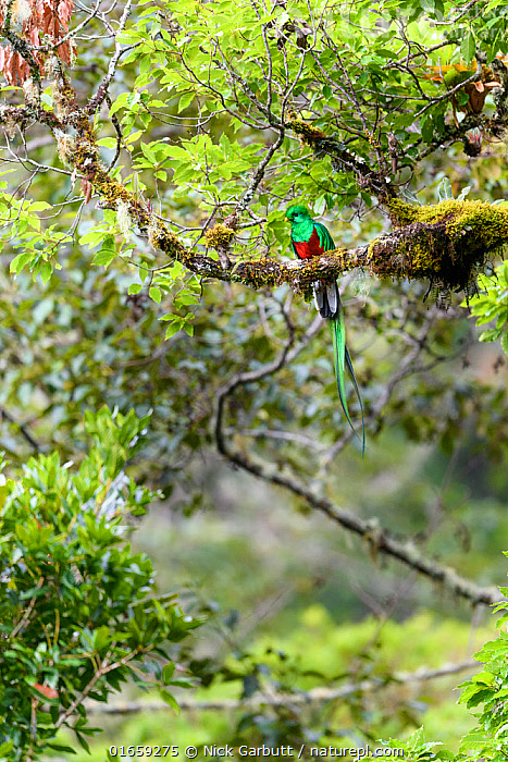 RF - Resplendent quetzal (Pharomachrus mocinno), male perched in canopy of cloud forest. Los Quetzales National Park, Savegre River Valley, Costa Rica. (This image may be licensed either as rights managed or royalty free.)  ,  Animal,Wildlife,Vertebrate,Bird,Birds,Quetzal,Resplendent quetzal,Animalia,Animal,Wildlife,Vertebrate,Aves,Bird,Birds,Trogoniformes,Trogonidae,Pharomachrus,Quetzal,Pharomachrus mocinno,Resplendent quetzal,Northern quetzal,Magnificent quetzal,Latin America,Central America,Costa Rica,Male Animal,Nature,Cloud-Forest,Montane forest,Habitat,Reserve,Forest,Cloud forest,Biodiversity hotspot,Protected area,National Park,RF,Royalty free,RF6,,RF,Royalty free, RF6,RF,Royalty free, RF6,  ,  Nick Garbutt