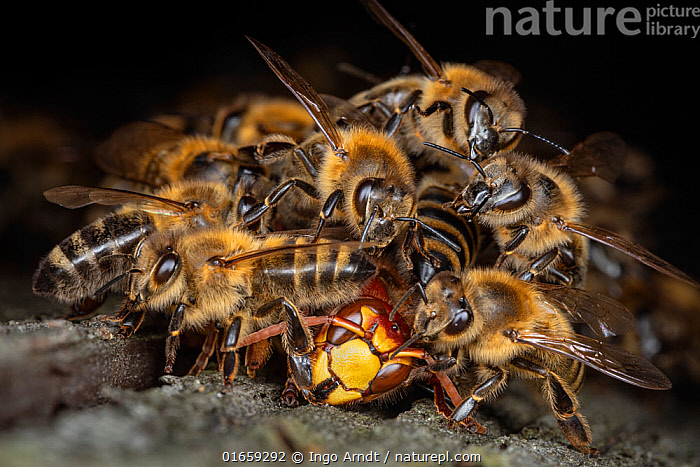 Honey bees (Apis mellifera) attacking a hornet (Vespa crabro). Honeybees survive a 1 degree Celsius higher body temperature than hornets. When they attack the hornet, they cover it, heat their own bodies as much as they can and overheat the hornet. After half an hour, the hornet is dead. The ball dissolves and the Hornet is carried away from the hive. Germany.  ,  Animal,Wildlife,Arthropod,Insect,Bee,Honey bee,Wasp,Hornet,European hornet,Animalia,Animal,Wildlife,Hexapoda,Arthropod,Invertebrate,Hexapod,Arthropoda,Insecta,Insect,Hymenoptera,Apidae,Bee,Apid bee,Apoidea,Apocrita,Apis,Honey bee,Honeybee,Colonial bee,Apini,Apis mellifera,European honey bee,Western honey bee,Apis mellifica,Vespidae,Wasp,Hunting wasp,Vespoid wasp,Vespa,Hornet,Social wasp,Vespa crabro,European hornet,Vespa major,Vespa vexator,Vespa borealis,Attacking,Killing,Trespassing,Intrude,Intruders,Intrudes,Intruding,Intrusion,Trespass,Trespassers,Trespasses,Teamwork,Europe,Western Europe,Germany,Violence,Murderous,Violent,Murder,Homicide,Killing,Murders,Animal Behaviour,Aggression,Cooperation,Defensive,Intruder,  ,  Ingo Arndt