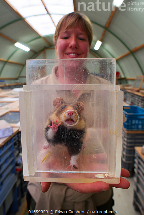 Zookeeper Nienke holding a clear container with a European hamster (Cricetus cricetus), part of a breeding program run by GaiaZOO, Kerkade, The Netherlands, May. Model released.  ,  Animal,Wildlife,Vertebrate,Mammal,Rodent,Hamster,Black-bellied Hamster,Animalia,Animal,Wildlife,Vertebrate,Mammalia,Mammal,Rodentia,Rodent,Cricetidae,Cricetus,Hamster,Cricetus cricetus,Black-bellied Hamster,Common Hamster,Cricetus albus,Cricetus babylonicus,Cricetus canescens,People,Woman,Facial Expression,Smiling,Europe,Western Europe,The Netherlands,Holland,Netherlands,Southern Netherlands,Limburg,Conservation,Wildlife conservation,Animal Care,Breeding Program,  ,  Edwin Giesbers