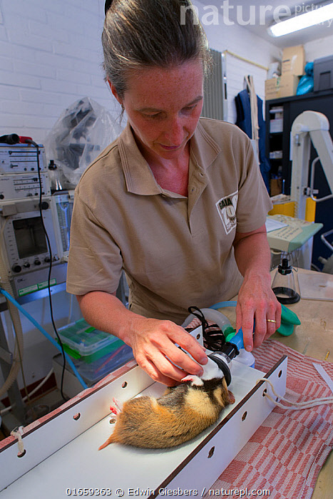Zoo veterinarian Christine Kaandorp about to insert a telemetry transmitter into a European hamster (Cricetus cricetus). About 10 percent of the European hamsters in the breeding program are equipped with a transmitter so that the researchers can determine their movements and survival over the year. GaiaZOO, Kerkade, The Netherlands. May. Model released.  ,  Animal,Wildlife,Vertebrate,Mammal,Rodent,Hamster,Black-bellied Hamster,Animalia,Animal,Wildlife,Vertebrate,Mammalia,Mammal,Rodentia,Rodent,Cricetidae,Cricetus,Hamster,Cricetus cricetus,Black-bellied Hamster,Common Hamster,Cricetus albus,Cricetus babylonicus,Cricetus canescens,People,Woman,Veterinary Surgeon,Europe,Western Europe,The Netherlands,Holland,Netherlands,Southern Netherlands,Limburg,Conservation,Veterinary Procedure,Wildlife conservation,Procedure,Breeding Program,Kerkade,  ,  Edwin Giesbers