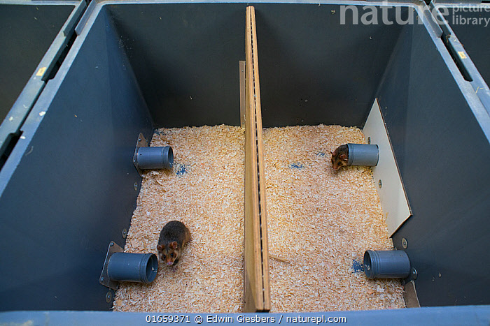 GaiaZOO European Hamster (Cricetus cricetus) Breeding Program: enclosure setup to determine if the hamsters are ready to mate. This is necessary because the wild population cannot survive on its own at the moment. Every year a new breeding schedule is drawn up to determine which hamsters can mate with whom so as to maximize genetic diversity and minimize kinship. Every year over the course of the summer, European hamsters from the breeding program are released in the various habitats. GaiaZOO, Kerkade,The Netherlands, May.  ,  Animal,Wildlife,Vertebrate,Mammal,Rodent,Hamster,Black-bellied Hamster,Animalia,Animal,Wildlife,Vertebrate,Mammalia,Mammal,Rodentia,Rodent,Cricetidae,Cricetus,Hamster,Cricetus cricetus,Black-bellied Hamster,Common Hamster,Cricetus albus,Cricetus babylonicus,Cricetus canescens,Europe,Western Europe,The Netherlands,Holland,Netherlands,Southern Netherlands,Limburg,Conservation,Wildlife conservation,Breeding Program,  ,  Edwin Giesbers