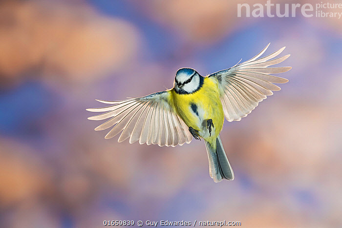 Blue tit (Cyanistes caeruleus) in flight. Slovenia. February.  ,  Animal,Wildlife,Vertebrate,Bird,Birds,Songbird,Tit,Blue tit,Animalia,Animal,Wildlife,Vertebrate,Aves,Bird,Birds,Passeriformes,Songbird,Passerine,Paridae,Tit,Cyanistes,Cyanistes caeruleus,Blue tit,Common blue tit,Parus caeruleus,Flying,Europe,Southern Europe,Slovenia,Cutout,High Angle View,Feather,Wing,Flight feathers,Elevated view,Wing feathers,Dorsal view,  ,  Guy Edwardes