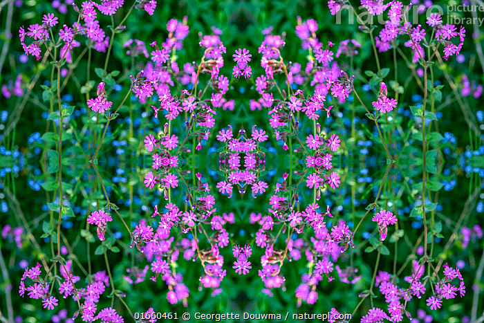 Red campion (Silene dioica) and Forget-me-nots (Myosotis sylvatica). Kaleidoscopic montage.  ,  Plant,Vascular plant,Flowering plant,Dicot,Pink,Red campion,Asterid,Borage,Forget me not,Wood forget me not,Plantae,Plant,Tracheophyta,Vascular plant,Magnoliopsida,Flowering plant,Angiosperm,Spermatophyte,Spermatophytina,Angiospermae,Caryophyllales,Dicot,Dicotyledon,Caryophyllanae,Centrospermae,Caryophyllaceae,Pink,Carnation,Silene,Silene dioica,Red campion,Red catchfly,Lychnis dioica,Melandrium dioicum,Melandrium rubrum,Boraginales,Asterid,Asteranae,Boraginaceae,Borage,Myosotis,Forget me not,Forgetmenot,Myosotis sylvatica,Wood forget me not,Colour,Pattern,Europe,Western Europe,UK,Great Britain,England,London,Greater London,Flower,Abstract,Abstracts,Kaleidoscope,Kaleidoscopic,  ,  Georgette Douwma