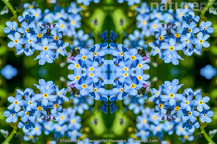 For get me nots (Myosotis sylvatica). Kaleidoscopic montage.  ,  Plant,Vascular plant,Flowering plant,Asterid,Borage,Forget me not,Wood forget me not,Plantae,Plant,Tracheophyta,Vascular plant,Magnoliopsida,Flowering plant,Angiosperm,Spermatophyte,Spermatophytina,Angiospermae,Boraginales,Asterid,Dicot,Dicotyledon,Asteranae,Boraginaceae,Borage,Myosotis,Forget me not,Forgetmenot,Myosotis sylvatica,Wood forget me not,Colour,Blue,Pattern,Europe,Western Europe,UK,Great Britain,England,London,Greater London,Flower,Abstract,Abstracts,Kaleidoscope,Kaleidoscopic,  ,  Georgette Douwma
