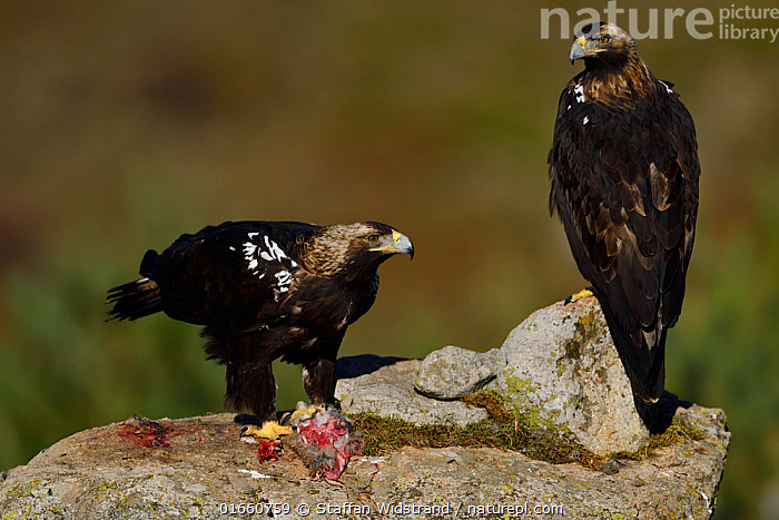 RF - Spanish imperial eagle (Aquila adalberti), two on rock, one eating rabbit carcass put out at wildlife watching hide. Near El Barraco, Avila, Castile and Leon, Spain. December. (This image may be licensed either as rights managed or royalty free.)  ,  Animal,Wildlife,Vertebrate,Bird,Birds,True eagle,Spanish imperial eagle,Animalia,Animal,Wildlife,Vertebrate,Aves,Bird,Birds,Accipitriformes,Accipitridae,Aquila,True eagle,True eagles,Eagle,Bird of prey,Raptor,Aquila adalberti,Spanish imperial eagle,Iberian imperial eagle,Adalbert&#39,s eagle,White shouldered eagle,Two,Europe,Southern Europe,Spain,Castile and Leon,Avila,Nature,Feeding,Two animals,RF,Royalty free,Birds of Prey,Castile y Leon,,RF,Royalty free, RF6,RF,Royalty free, RF6,  ,  Staffan Widstrand