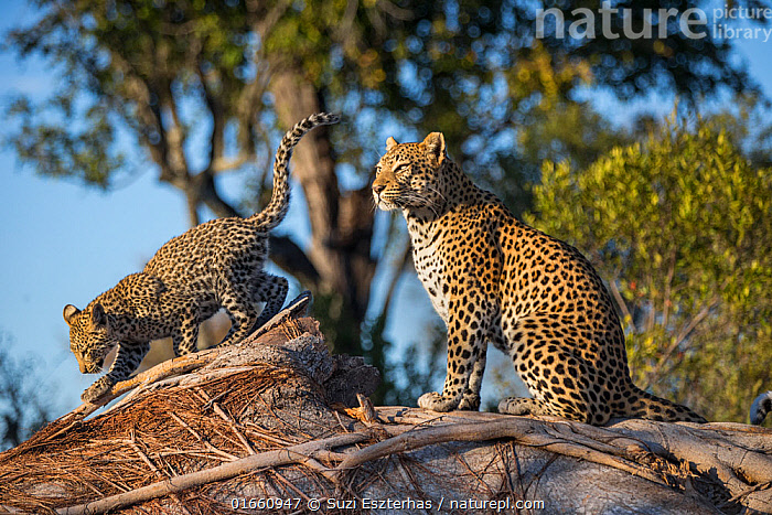 Leopard (Panthera pardus) mother and cub age four months , Jao Reserve, Okavango, Botswana  ,  Animal,Wildlife,Vertebrate,Mammal,Carnivore,Cat,Big cat,Leopard,Animalia,Animal,Wildlife,Vertebrate,Mammalia,Mammal,Carnivora,Carnivore,Felidae,Cat,Panthera,Big cat,Panthera pardus,Leopards,Cute,Adorable,Africa,Southern Africa,Botswana,Young Animal,Baby,Baby Mammal,Cub,Female animal,Reserve,Leopard,Family,Mother baby,Mother,Protected area,Parent baby,Endagered species,Threatened,Vulnerable  ,  Suzi Eszterhas
