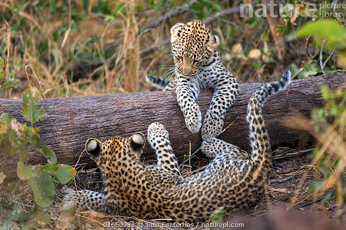 Leopard (Panthera pardus) cubs age four months playing, Jao Reserve, Okavango, Botswana  ,  Animal,Wildlife,Vertebrate,Mammal,Carnivore,Cat,Big cat,Leopard,Animalia,Animal,Wildlife,Vertebrate,Mammalia,Mammal,Carnivora,Carnivore,Felidae,Cat,Panthera,Big cat,Panthera pardus,Leopards,Cute,Adorable,Young Animal,Baby,Baby Mammal,Cub,Animal Behaviour,Playing,Leopard,Endagered species,Threatened,Vulnerable  ,  Suzi Eszterhas