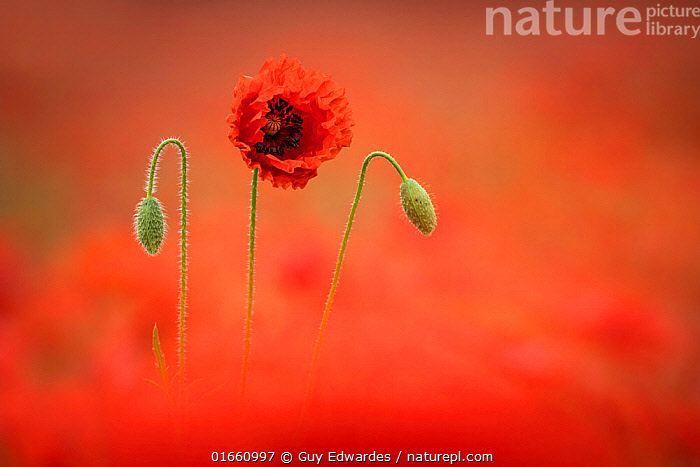 Poppy (Papaver rhoeas), Dorchester, Dorset, England, UK.  ,  Plant,Vascular plant,Flowering plant,Dicot,Poppy,Common poppy,Plantae,Plant,Tracheophyta,Vascular plant,Magnoliopsida,Flowering plant,Angiosperm,Spermatophyte,Spermatophytina,Angiospermae,Ranunculales,Dicot,Dicotyledon,Ranunculanae,Papaveraceae,Fumariaceae,Papaver,Poppy,Stylomecon,Papaver rhoeas,Common poppy,Corn poppy,Field poppy,Red poppy,Happiness,Colour,Red,Colourful,Europe,Western Europe,UK,Great Britain,England,Dorset,Camera Focus,Selective Focus,Wildflower,Wildflowers,Bud,Buds,Flower,Summer,Agriculture,Shallow depth of field,Low depth of field,Arable,In Bloom,  ,  Guy Edwardes