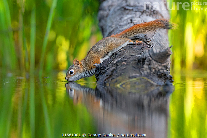 American Red squirrel (Tamiasciurus hudsonicus) on tree trunk drinking in a beaver pond. Acadia National Park, Maine, USA.  ,  Animal,Wildlife,Vertebrate,Mammal,Rodent,Pine squirrel,American red squirrel,American,Animalia,Animal,Wildlife,Vertebrate,Mammalia,Mammal,Rodentia,Rodent,Sciuridae,Tamiasciurus,Pine squirrel,Tamiasciurus hudsonicus,American red squirrel,Mountain Weasel,Mount Graham Red Squirrel,Red Squirrel,Stretching,Cute,Adorable,North America,USA,Eastern USA,New England,Maine,Side View,Plant,Reflection,Freshwater,Pond,Water,Drinking,Acadia National Park,American,United States of America,North American red squirrel,Chickaree,  ,  George Sanker