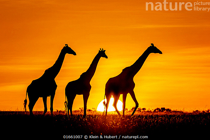 Three Masai giraffe (Giraffa camelopardalis tippelskirchi) silhouetted at sunset. Kenya, Africa.  ,  Animal,Wildlife,Vertebrate,Mammal,Giraffid,Giraffe,Masai Giraffe,Animalia,Animal,Wildlife,Vertebrate,Mammalia,Mammal,Artiodactyla,Even-toed ungulates,Giraffidae,Giraffid,Ruminant,Giraffa,Giraffe,Giraffa camelopardalis,Colour,Orange,Few,Three,Group,Temperature,Warm,Warming,Warmth,Africa,East Africa,Kenya,Back Lit,Plain,Plains,Sky,Sunset,Setting Sun,Sunsets,Savanna,Silhouette,Masai Giraffe,The Sun,Maasai Giraffe,Dusk,  ,  Klein & Hubert