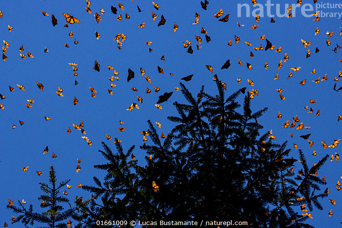 Monarch butterflies (Danaus plexippus) flying during a warm morning. When the overwintering period draws to an end large numbers become active. Michoacan, Mexico, February.  ,  Animal,Wildlife,Arthropod,Insect,Brushfooted butterfly,Tiger butterfly,Monarch,Animalia,Animal,Wildlife,Hexapoda,Arthropod,Invertebrate,Hexapod,Arthropoda,Insecta,Insect,Lepidoptera,Lepidopterans,Nymphalidae,Brushfooted butterfly,Fourfooted butterfly,Nymphalid,Butterfly,Papilionoidea,Danaus,Tiger butterfly,Milkweed butterfly,Monarch,Queen,Danaus plexippus,Monarch butterfly,Monarque,Tiny checkerspot,Danaus archippus,Danaus menippe,Papilio plexippus,Flying,Spectacular,Group,Large Group,Low Angle View,Back Lit,Plant,Tree,Sky,Winter,Beautiful,Silhouette,Multitude,Blue sky,  ,  Lucas Bustamante